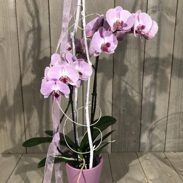 Orchidee mit Übertopf Bild 3