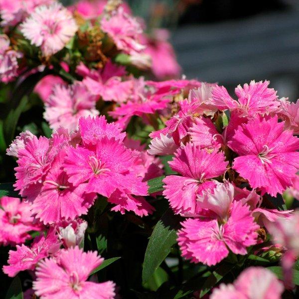 Chinanelke - Dianthus chinensis Bild 1
