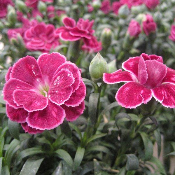 Topf-Nelke - Dianthus-Hybride Bild 1