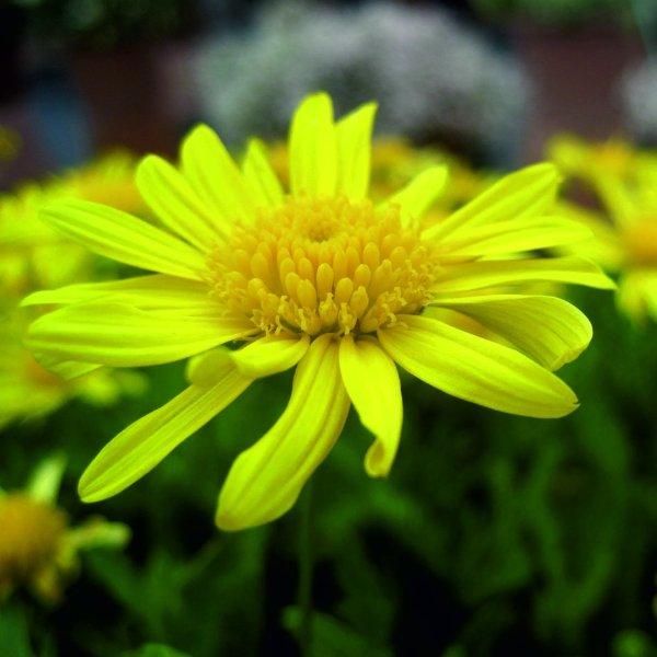 Gelbe Margerite - Euryops chrysanthemoides Bild 1
