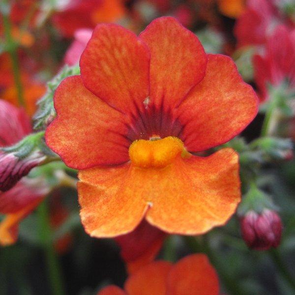 Sunsatia - Nemesia-Hybride Sunsatia Bild 1
