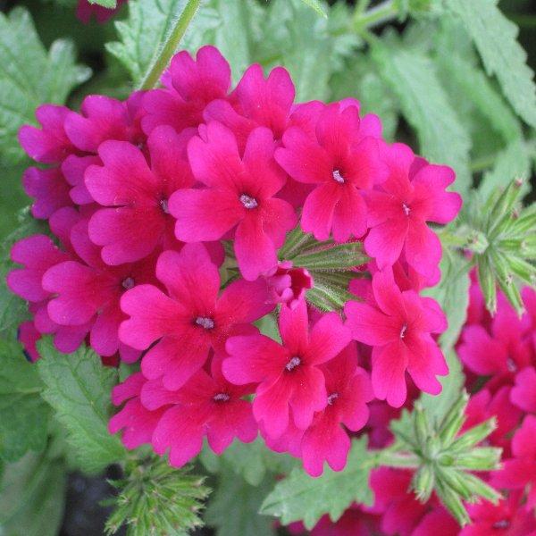 Hängeverbene - Verbena-Cultivars Bild 1