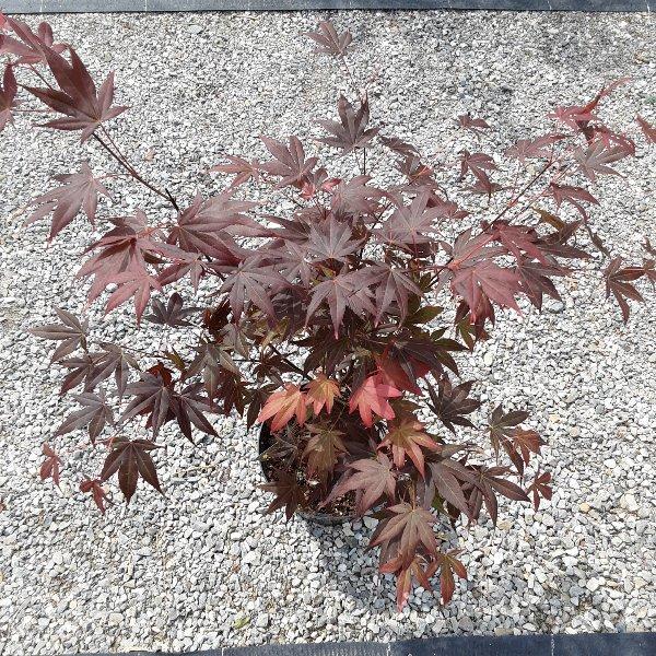 Roter Fächer-Ahorn Bild 1