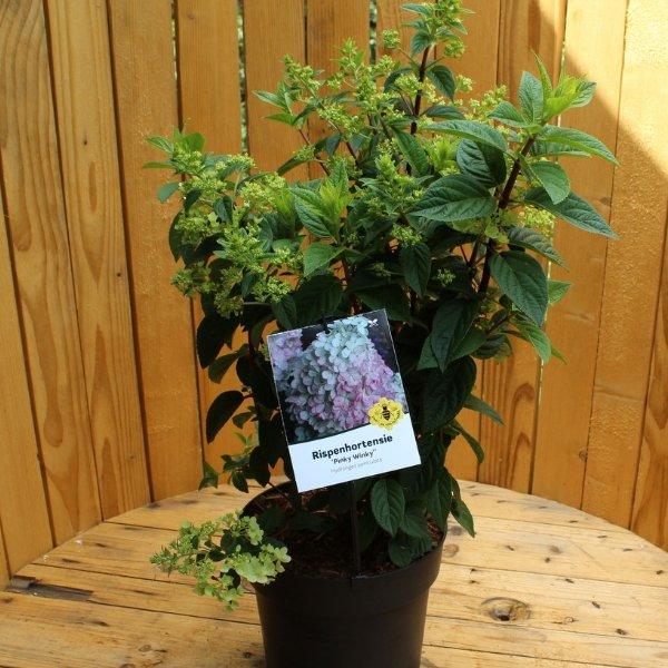 Hortensie paniculata 'Pinky Winky' Bild 1
